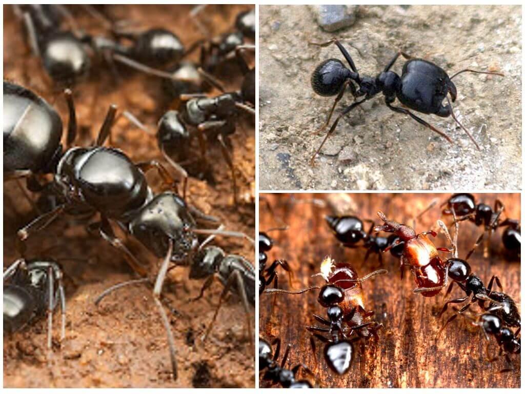 Муравьи жнецы - уход, питание, среда обитания и срок жизни 559