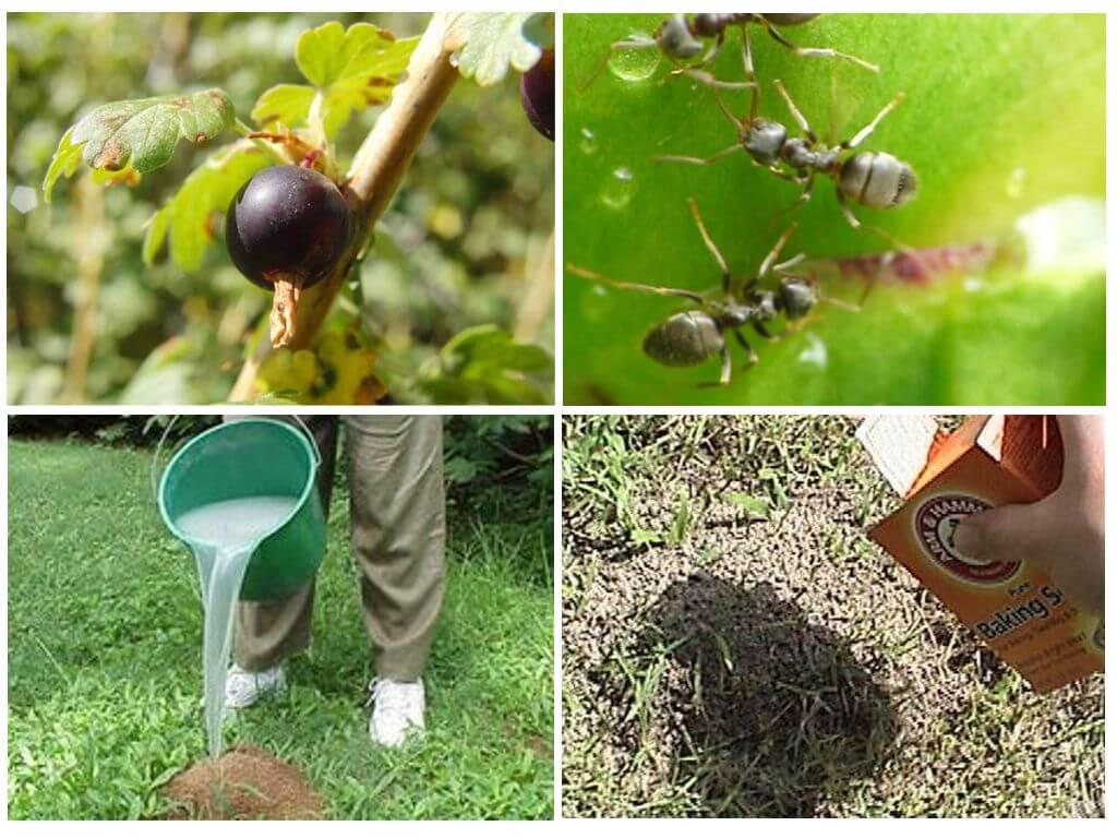 Как бороться с муравьями и тлей на смородине