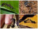 Образ жизни Paraponera clavata