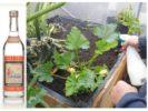 Опрыскивание растений водкой