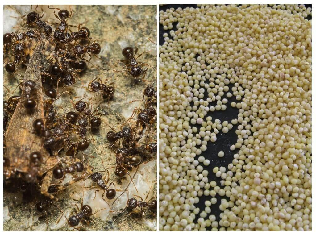 Пшено против муравьев на даче