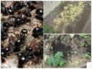 Применение пшена на даче от насекомых