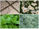 Растения для борьбы с муравьями