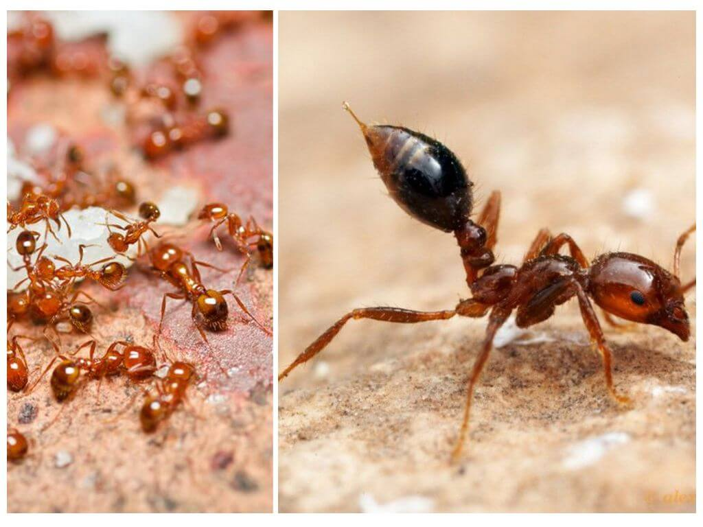 Как избавиться в квартире от маленьких рыжих муравьев