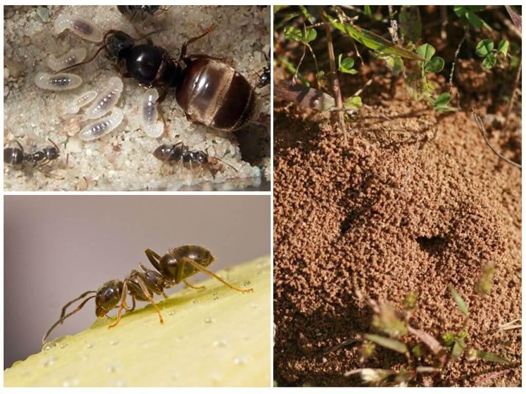 Садовые черные муравьи