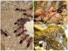 Особенности муравьев бульдогов