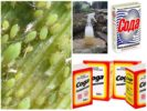 Кальцинированная и пищевая сода от тли