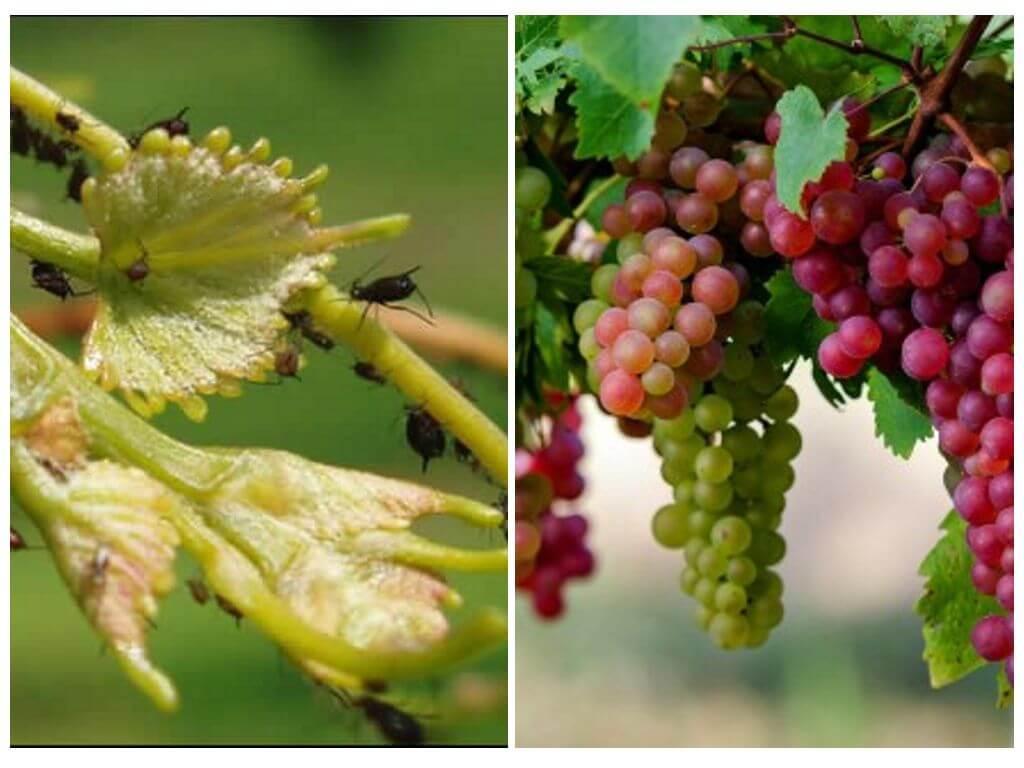 Как бороться с тлей на винограде народными и магазинными средствами