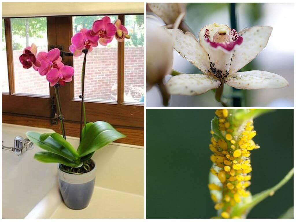 Как бороться с тлей на орхидеях