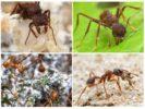 Жизнь муравья листореза
