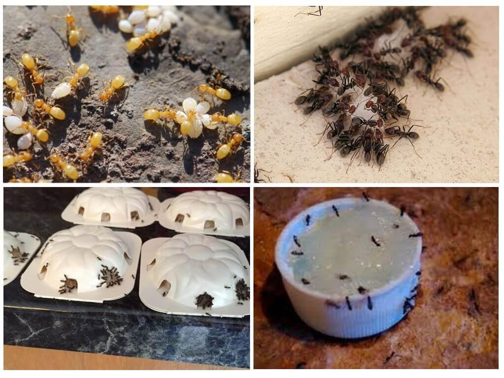 Как избавиться от желтых муравьев на дачном участке или огороде