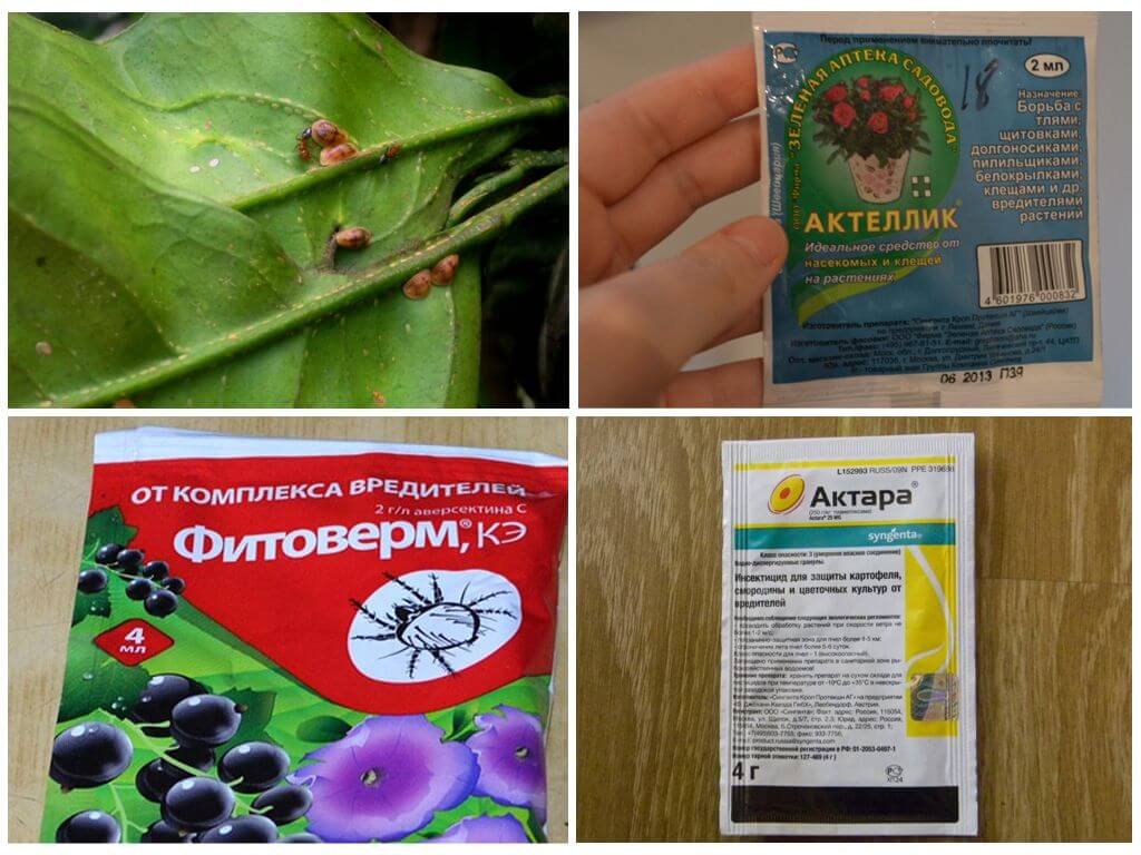 Борьба со щитовкой на лимоне инсектицидными препаратами