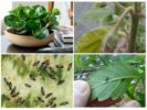 Паутинный клещ, трипсы и грибные комарики