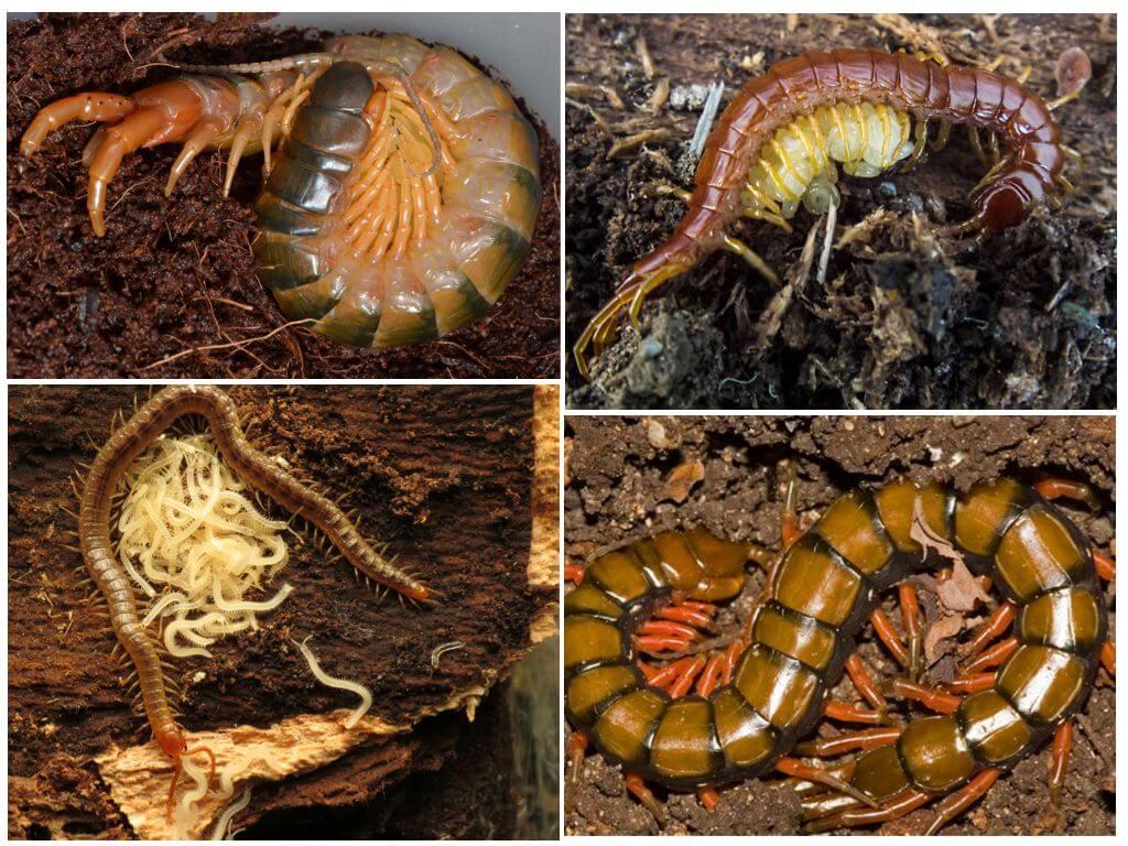 Размножение многоножки