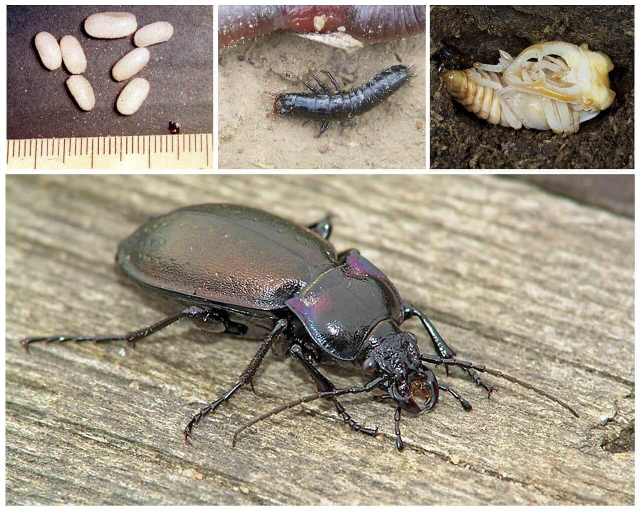 Размножение и развитие жука
