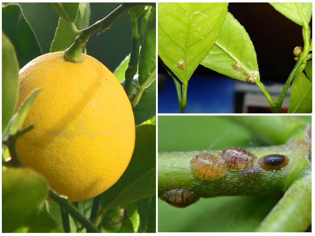 Как бороться со щитовкой на лимоне