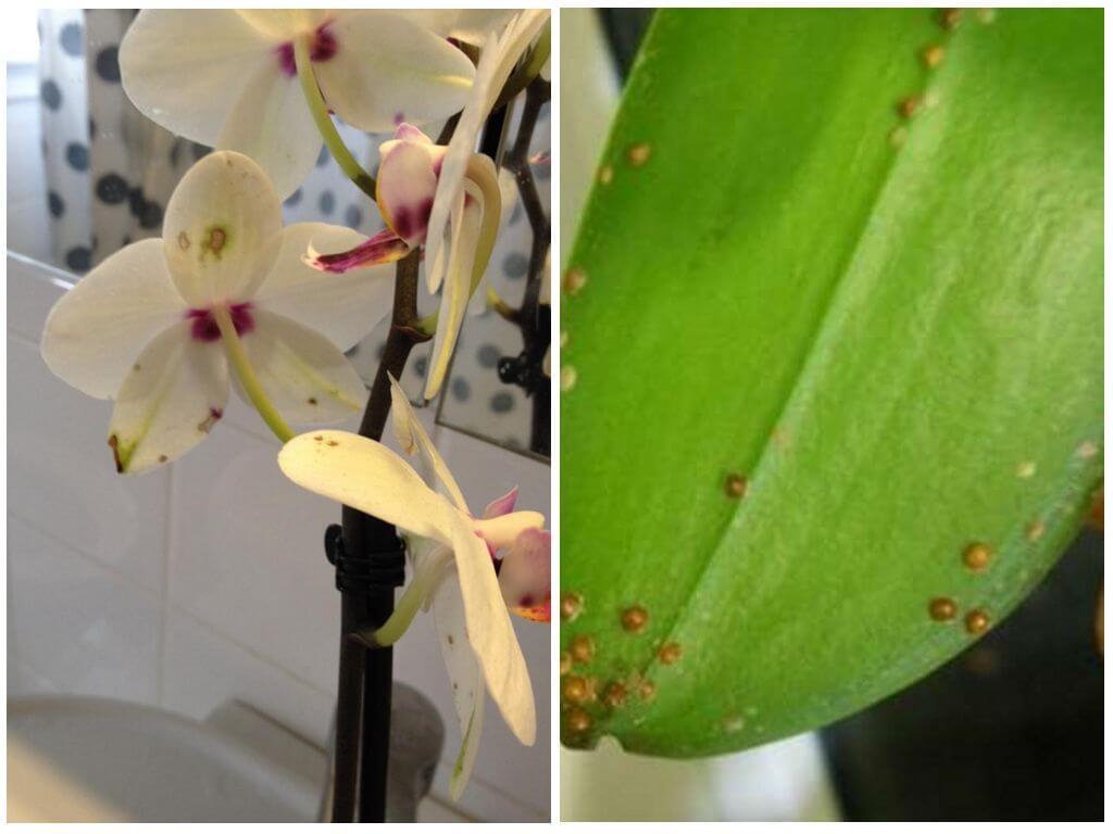 Как бороться со щитовкой на орхидеях