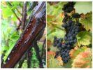 Щитовка на винограде