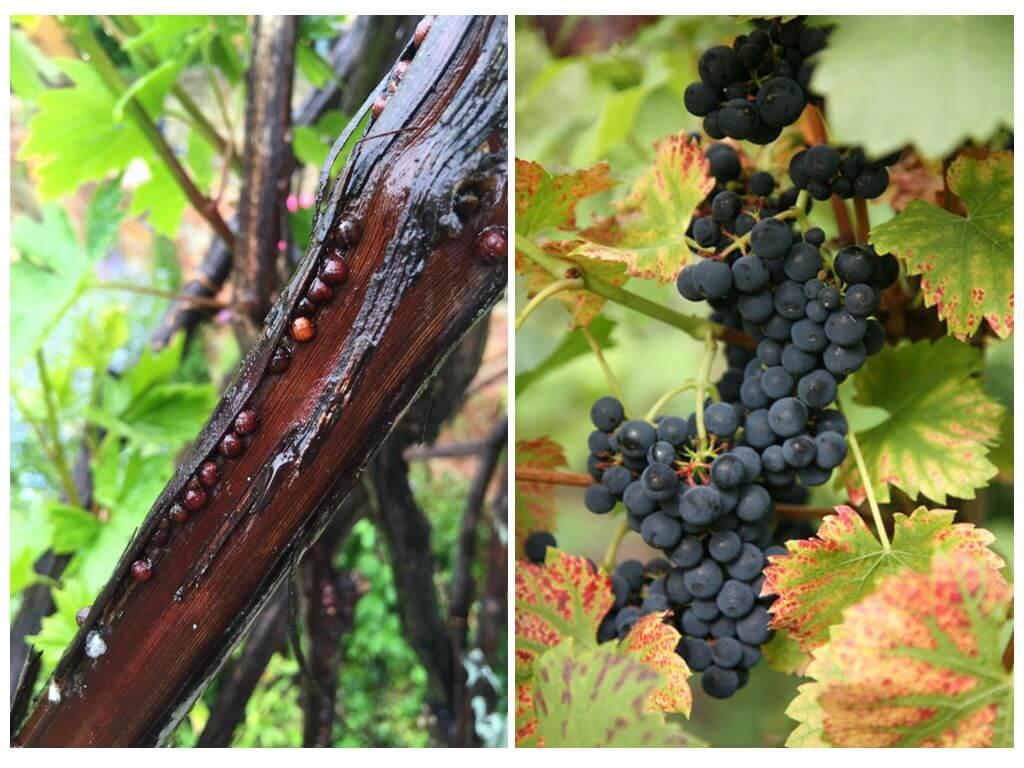 Как избавиться от щитовки на винограде