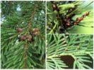 Щитовка на хвойных деревьях