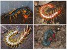 Разновидности сколопендр