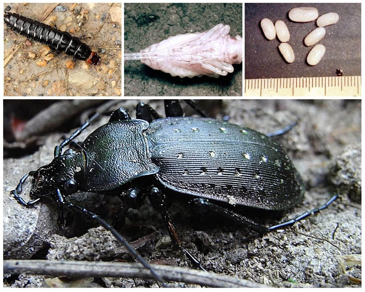 Размножение черной большой жужелицы