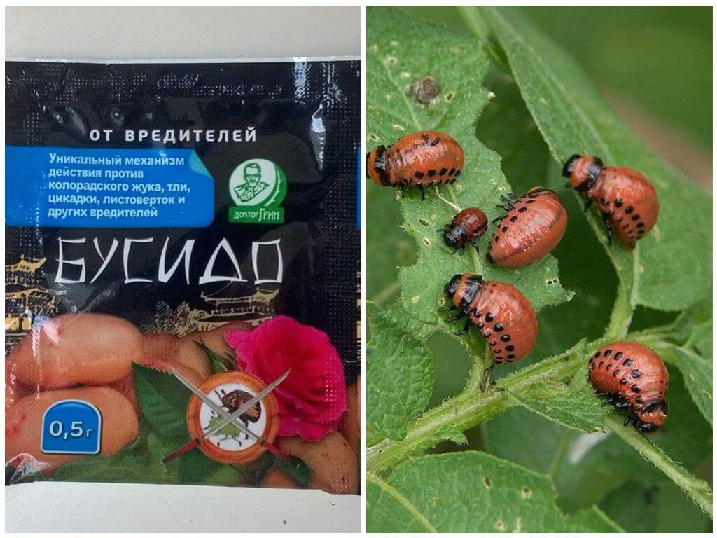 Бусидо от колорадского жука