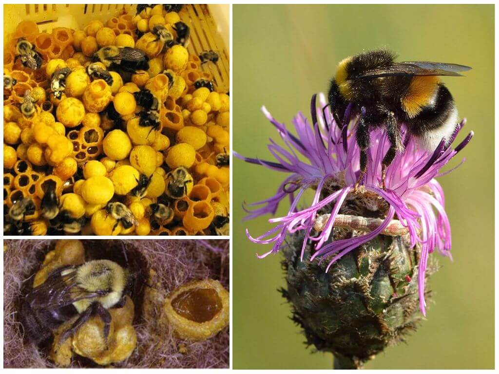 Есть ли мед у шмелей