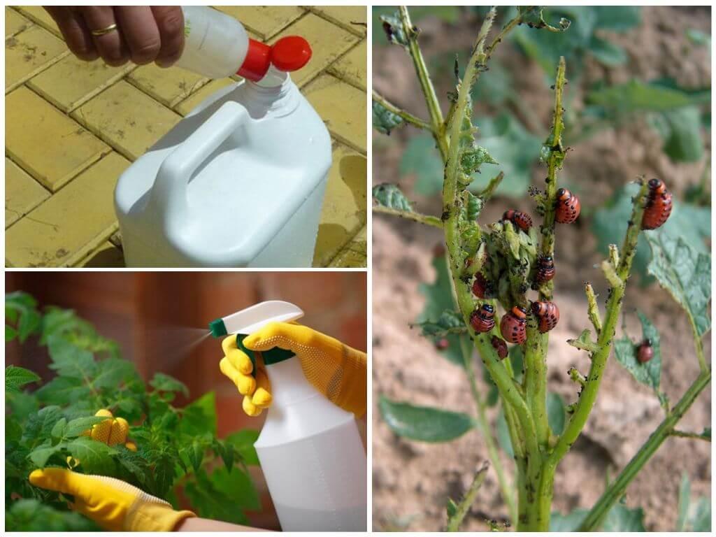 Химические средства против колорадского жука