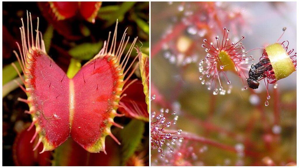 Хищные растение от комаров
