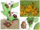 Жизненный цикл колорадского жука