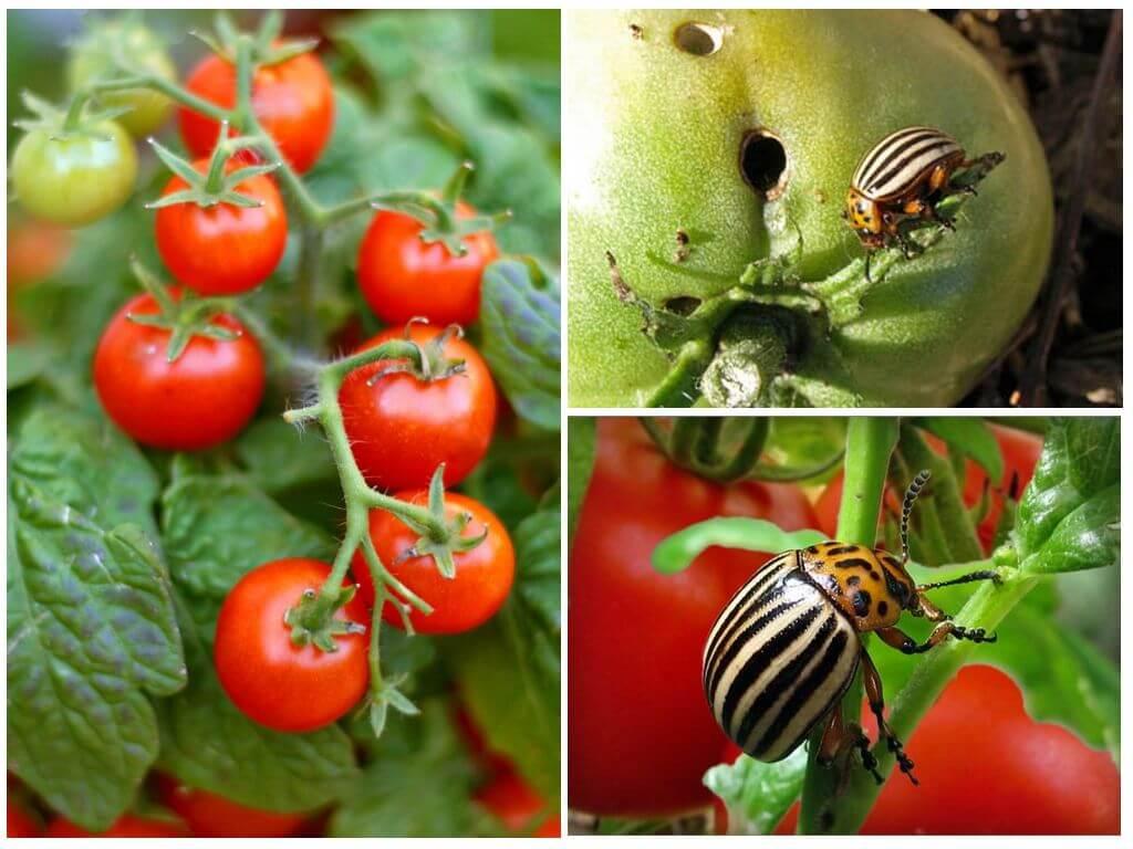 Чем обработать помидоры от колорадского жука