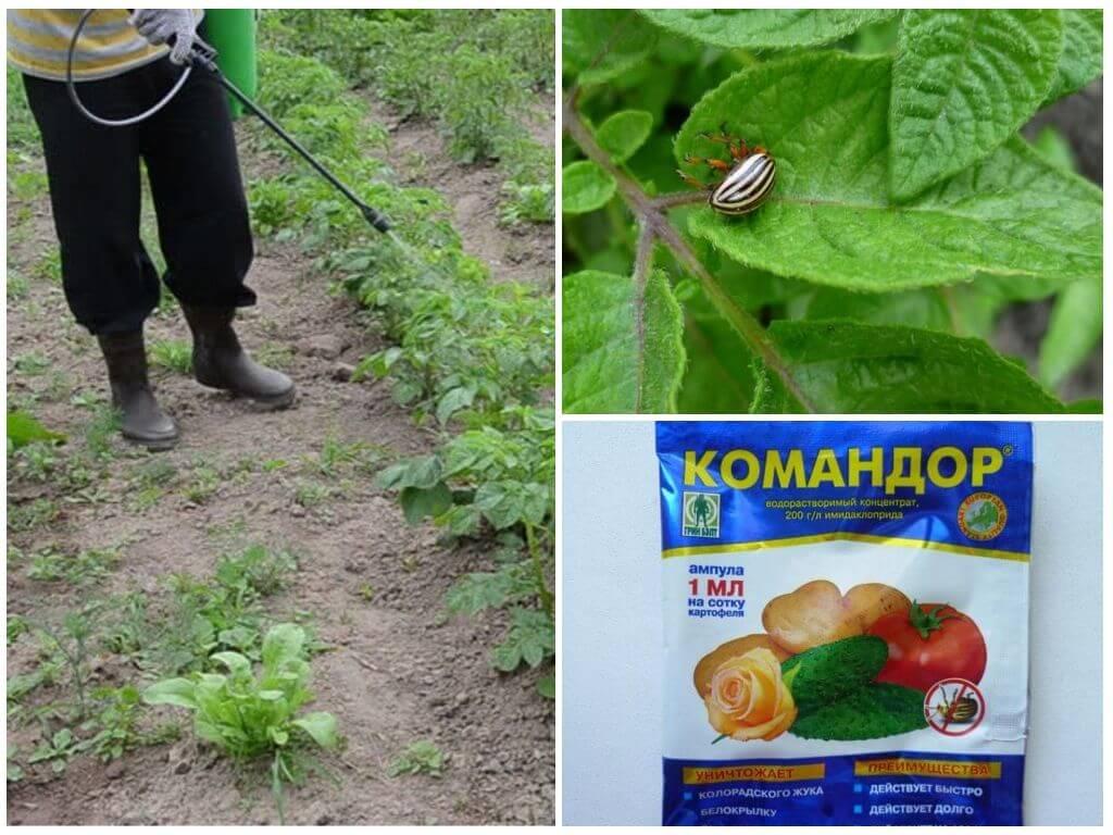 Применение препарата Командор от колорадского жука