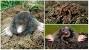 Народные методы борьбы с кротом при помощи червей