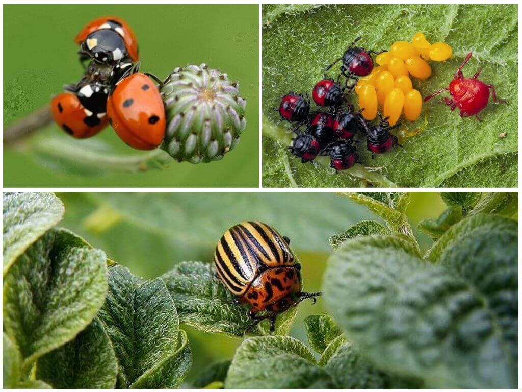 Насекомые-истребители колорадских жуков