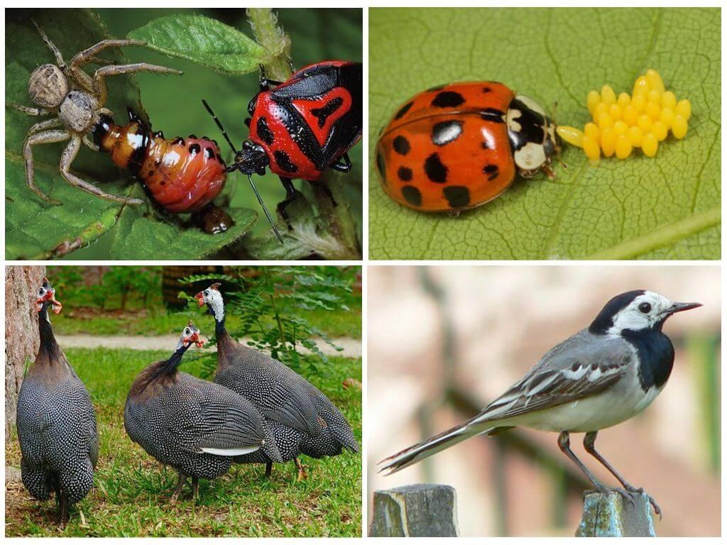 Биологические методы избавления от колорадского жука