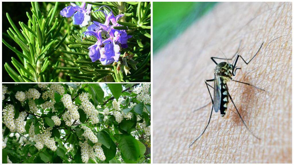 Кустарники, отпугивающие насекомых