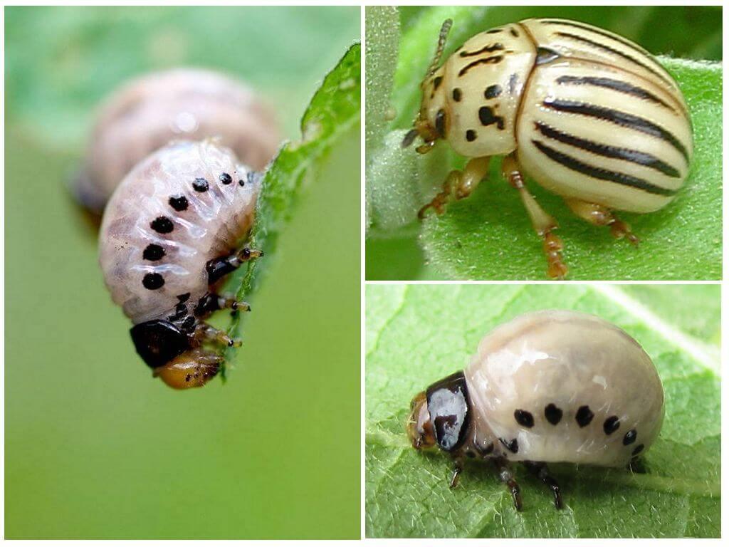 Ложный колорадский жук