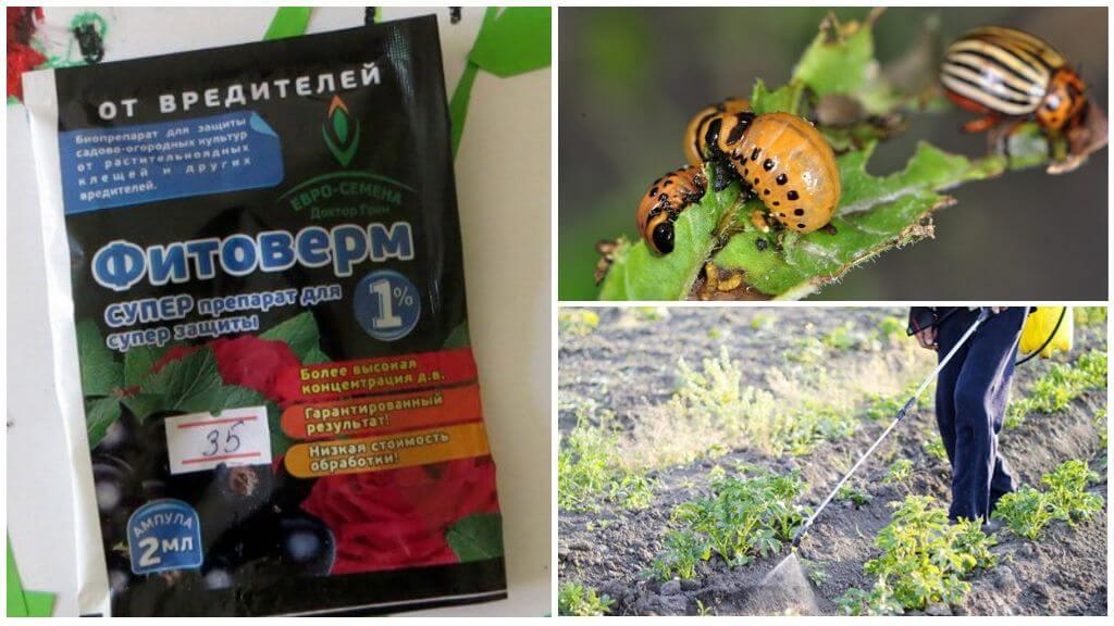 Применение Фитоферма от колорадских жуков