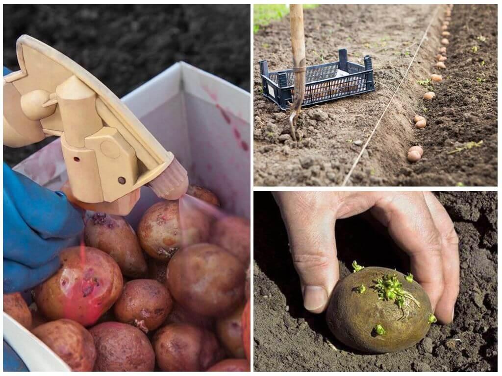 Чем перед посадкой обработать картофель от колорадского жука и проволочника