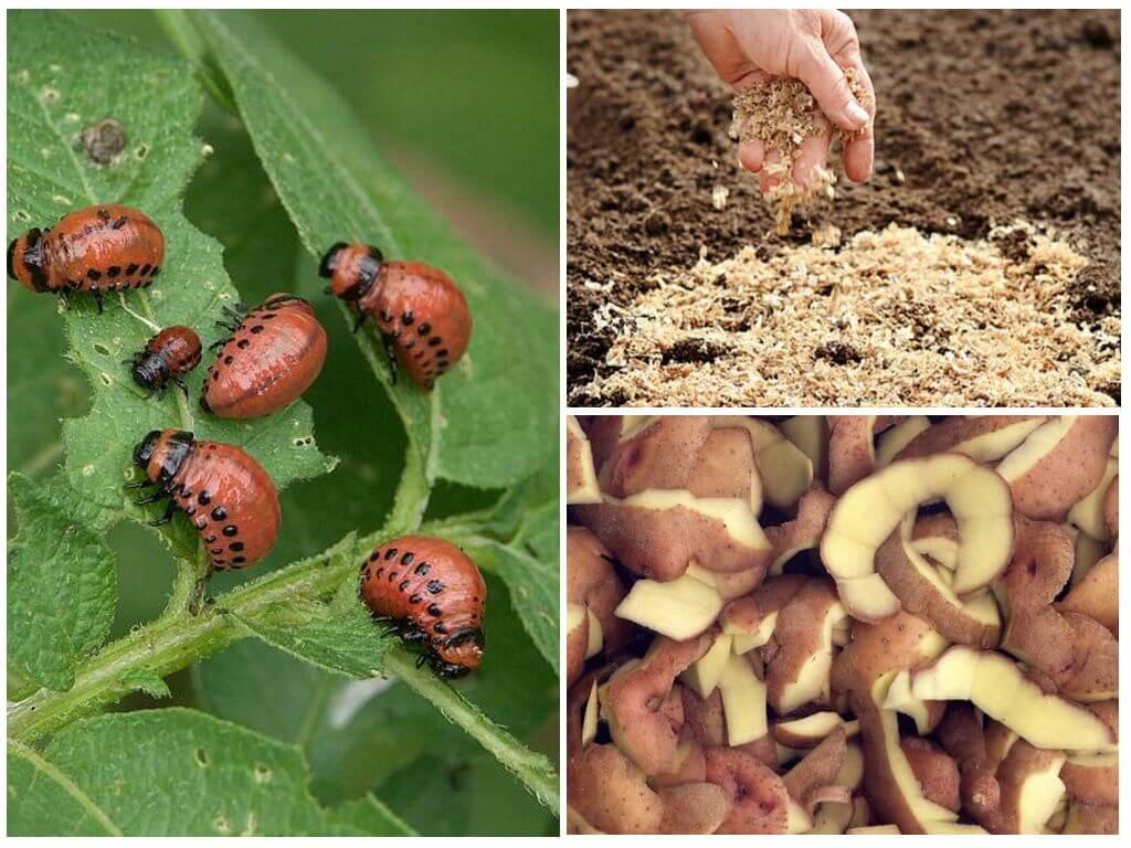 Опилки и картофельные очистки от колорадского жука