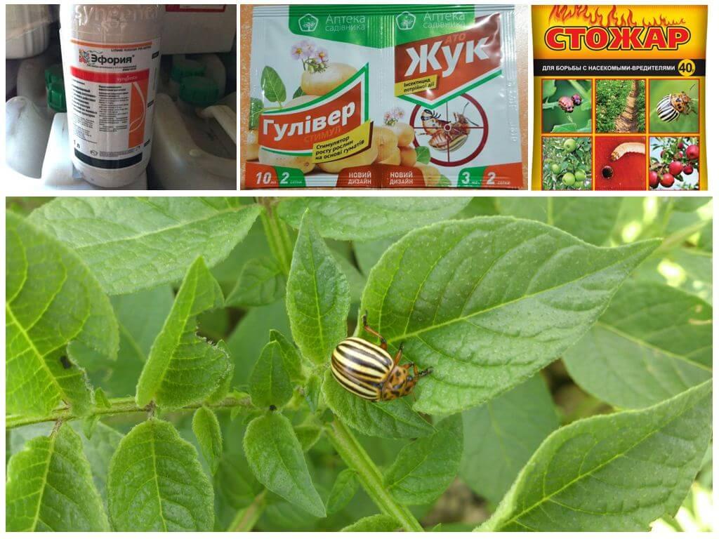 Самые эффективные отравы и яды от колорадского жука
