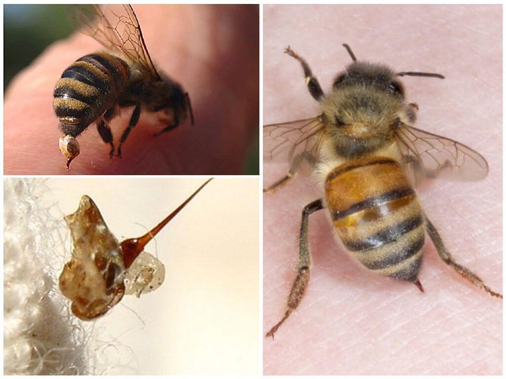 Пчела и её жало