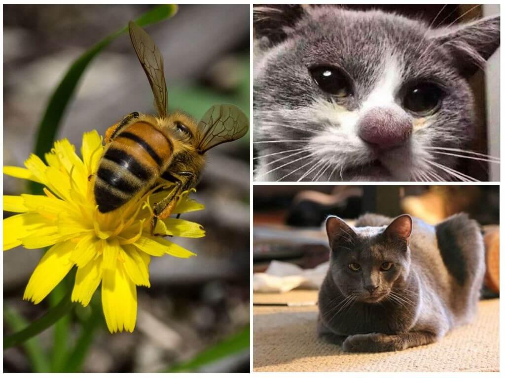 Что делать, если кошку укусила пчела