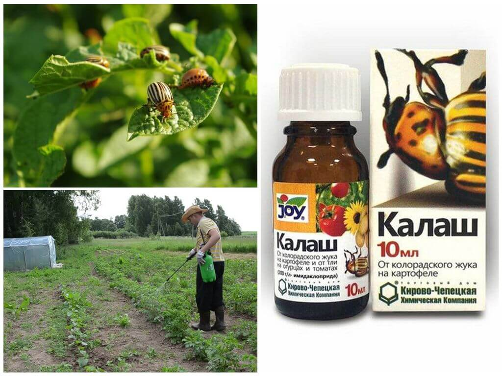 Применение препарата Калаш от колорадского жука