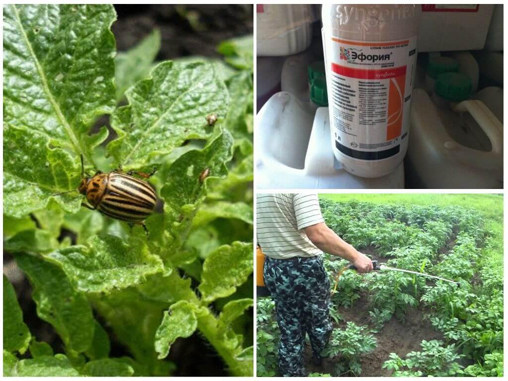Применение препарата Эфория для уничтожения колорадского жука