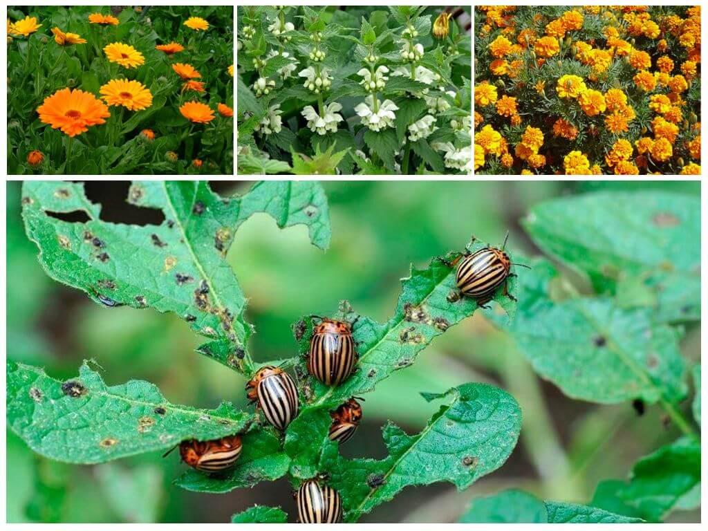 Растительные репелленты от колорадского жука