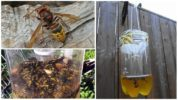Самодельные ловушки для шершней и ос