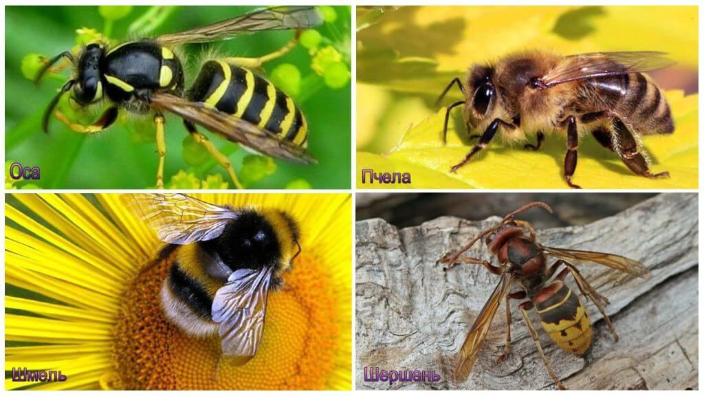 Отличие шмеля, шершня, осы, пчелы