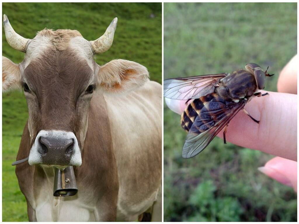 Корова и овод